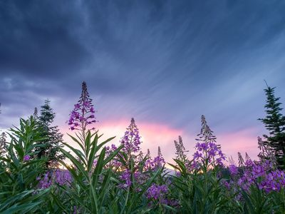 """The Notorious """"Fireweed"""""""