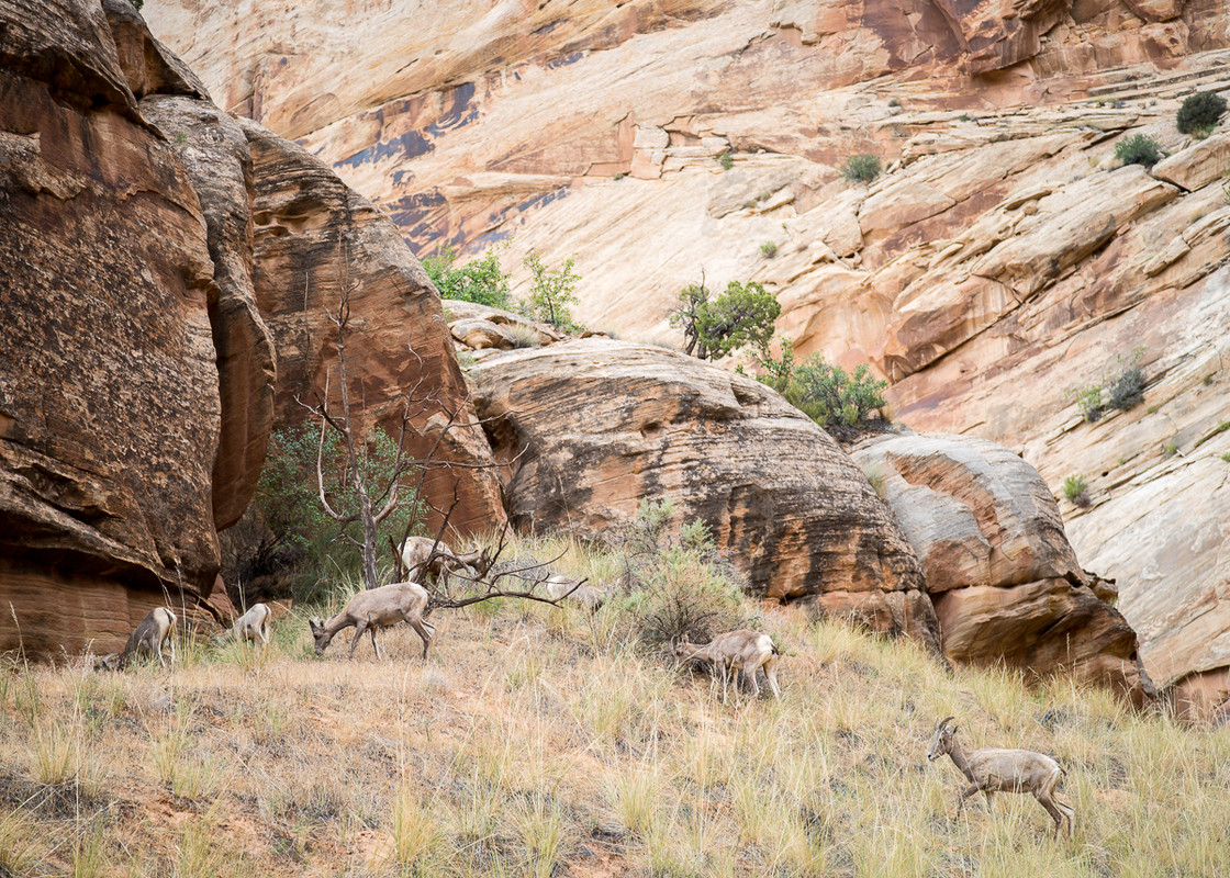 Bighorns grazing at Capitol Reef